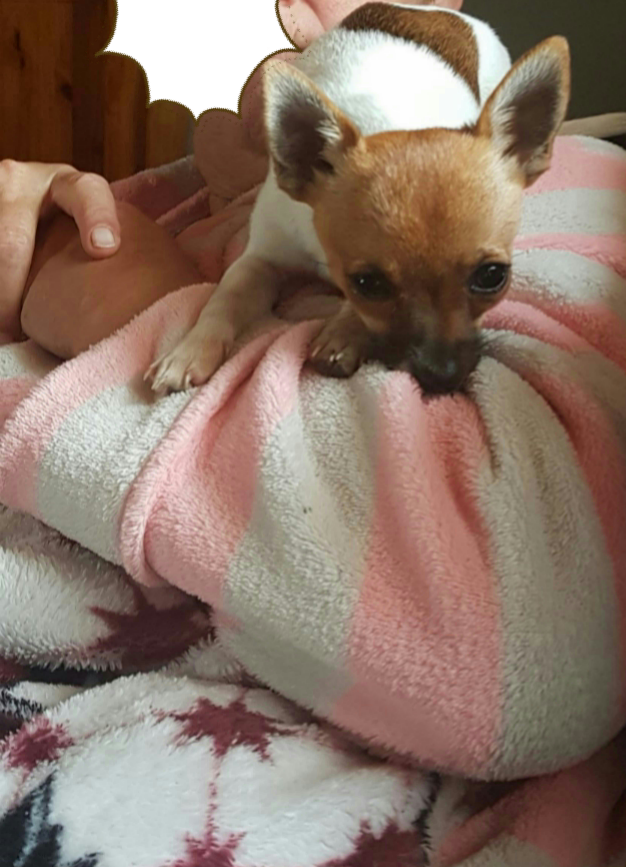 Lost: a male Chihuahua