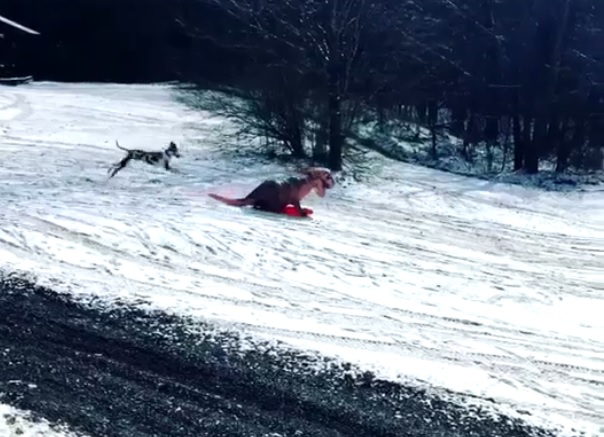 T. rex sledding spoiled by dog