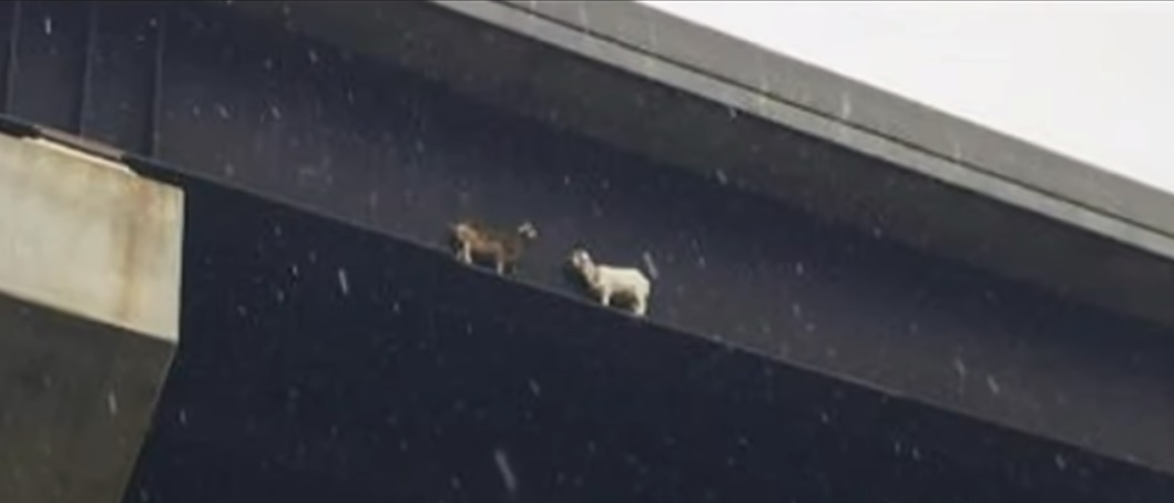 Pennsylvania Turnpike goats rescued