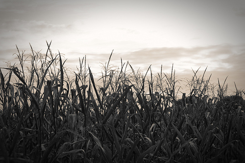 How A Little Girl Survived 12 Hours Lost in Cornfield...