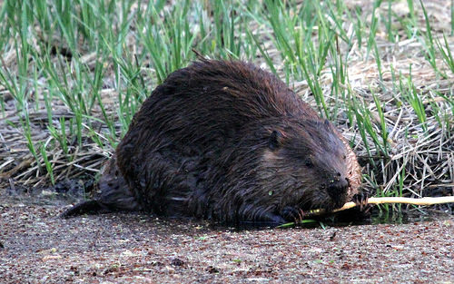 Yes, He Has Been a Little Hard On the Beaver