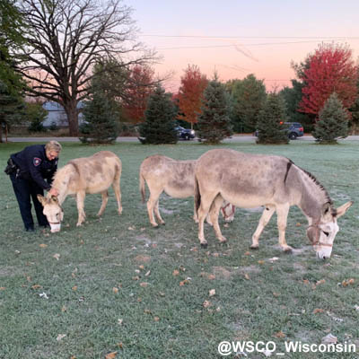 Deputies deal with donkeys on the loose