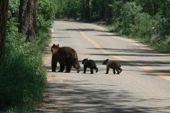 Parks Canada official say bear jams leading to traffic issues in Highlands