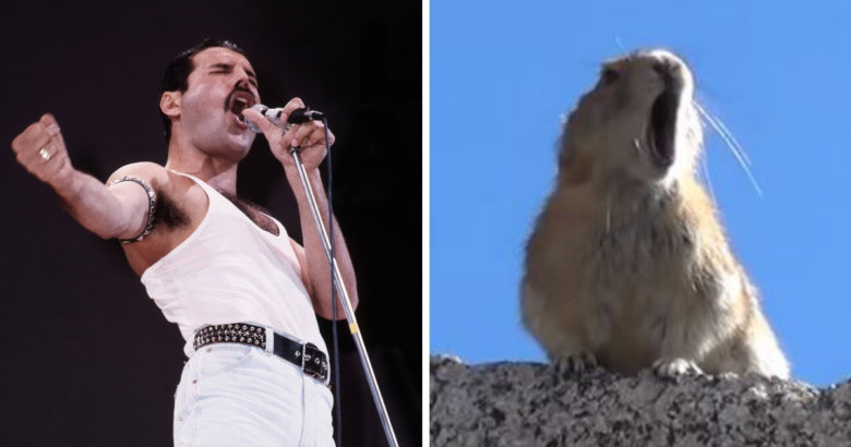 WATCH: Video Of A Tiny Pika 'Singing' Along With Freddie Mercury Is A Brilliant Piece of Editing!