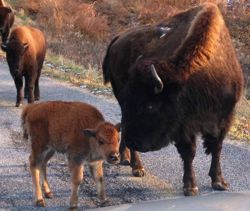 Man injured by bison at LBL