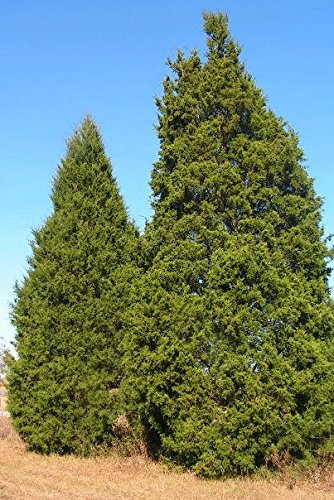 Permits available to cut down a Christmas tree at LBL