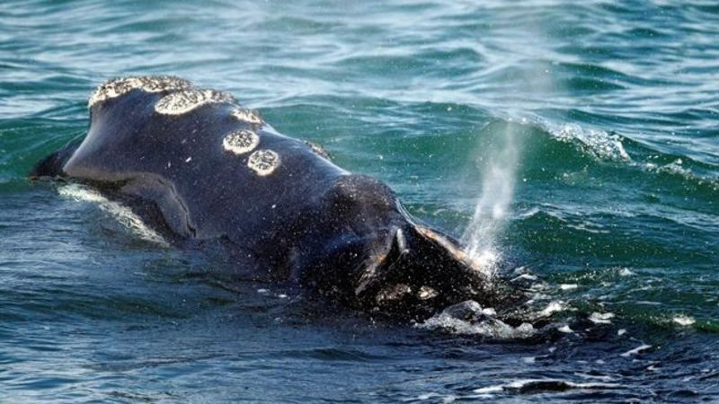 Federal review flags concerns in efforts to protect right whales in Canada