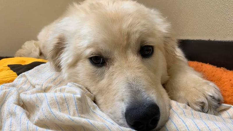 Local SPCA rescue healing well after surgery