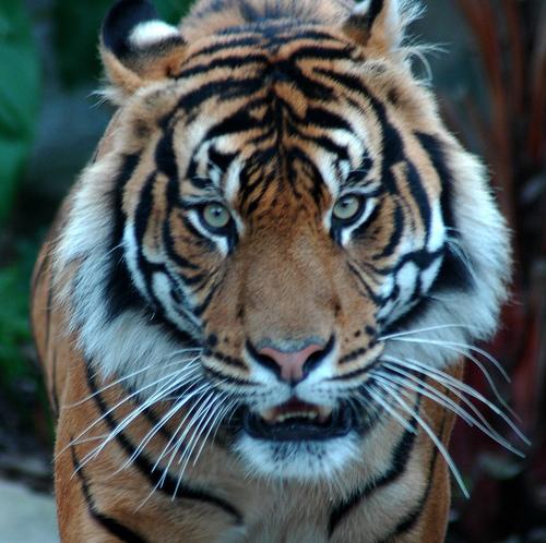 Tiger Prank