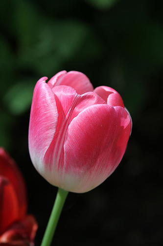 International Women's Day Tulips
