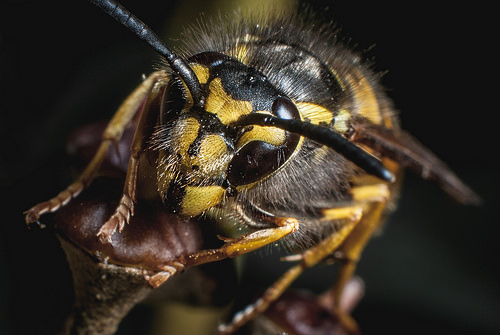 Watch Out For Dunk Wasps!