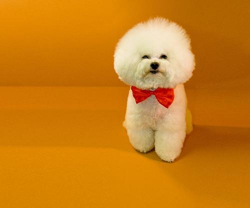 Bichon Frise named Flynn wins Westminster Dog Show!