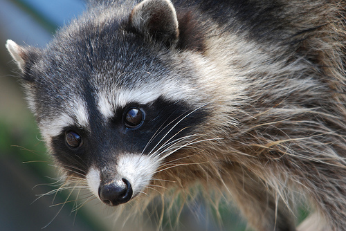 Watch Out For The Zombie Raccoons!!