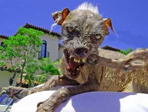 English Bulldog Zsa Zsa Wins Ugliest Dog Contest! And She's From Minnesota!