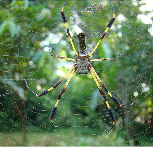 Giant Spider Web Stretches 1,000 Feet Across Lagoon!