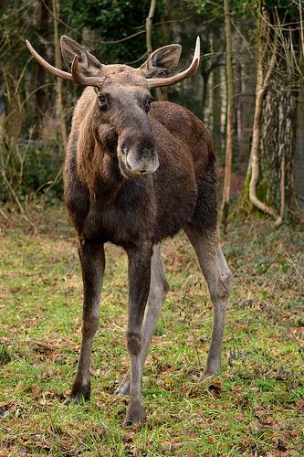Ding Dong Ditch Doorbell-Ringing Moose Wakes Alaska Couple...