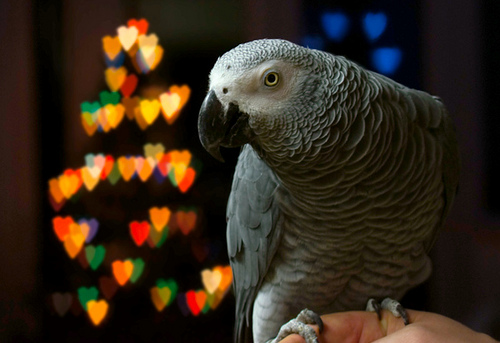 Parrot Uses Owner's Amazon Alexa To Order This!