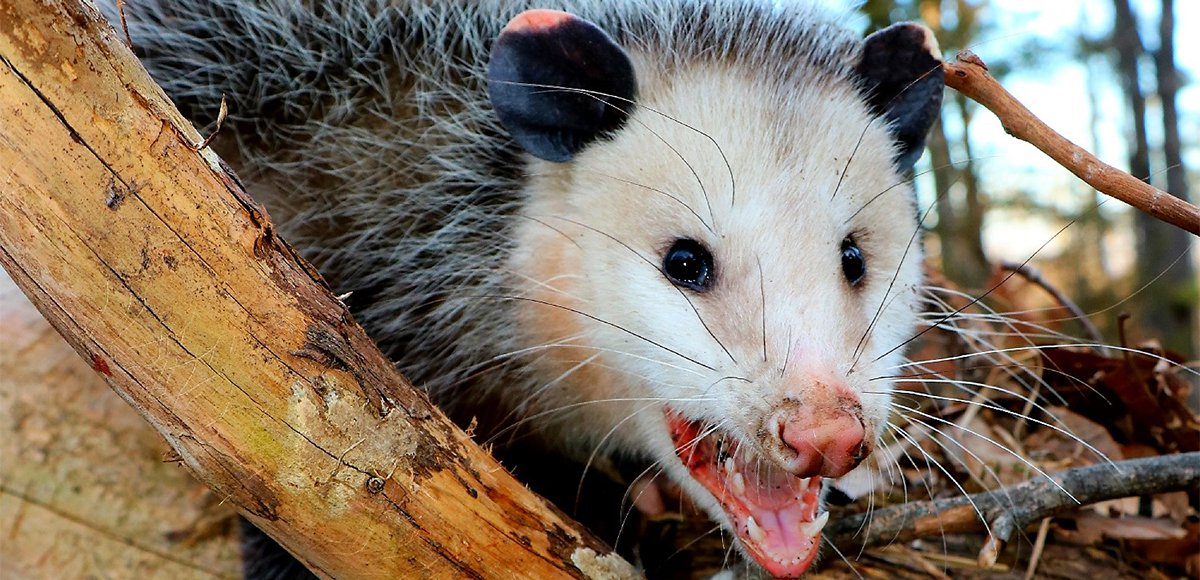 Pictures Of Possums That I Really Like