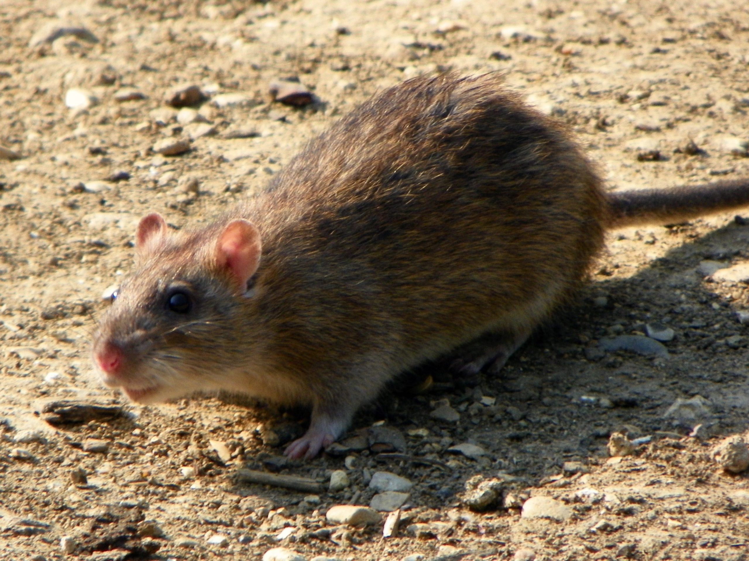Local pest control expert says the rat problem in Kamloops is getting worse