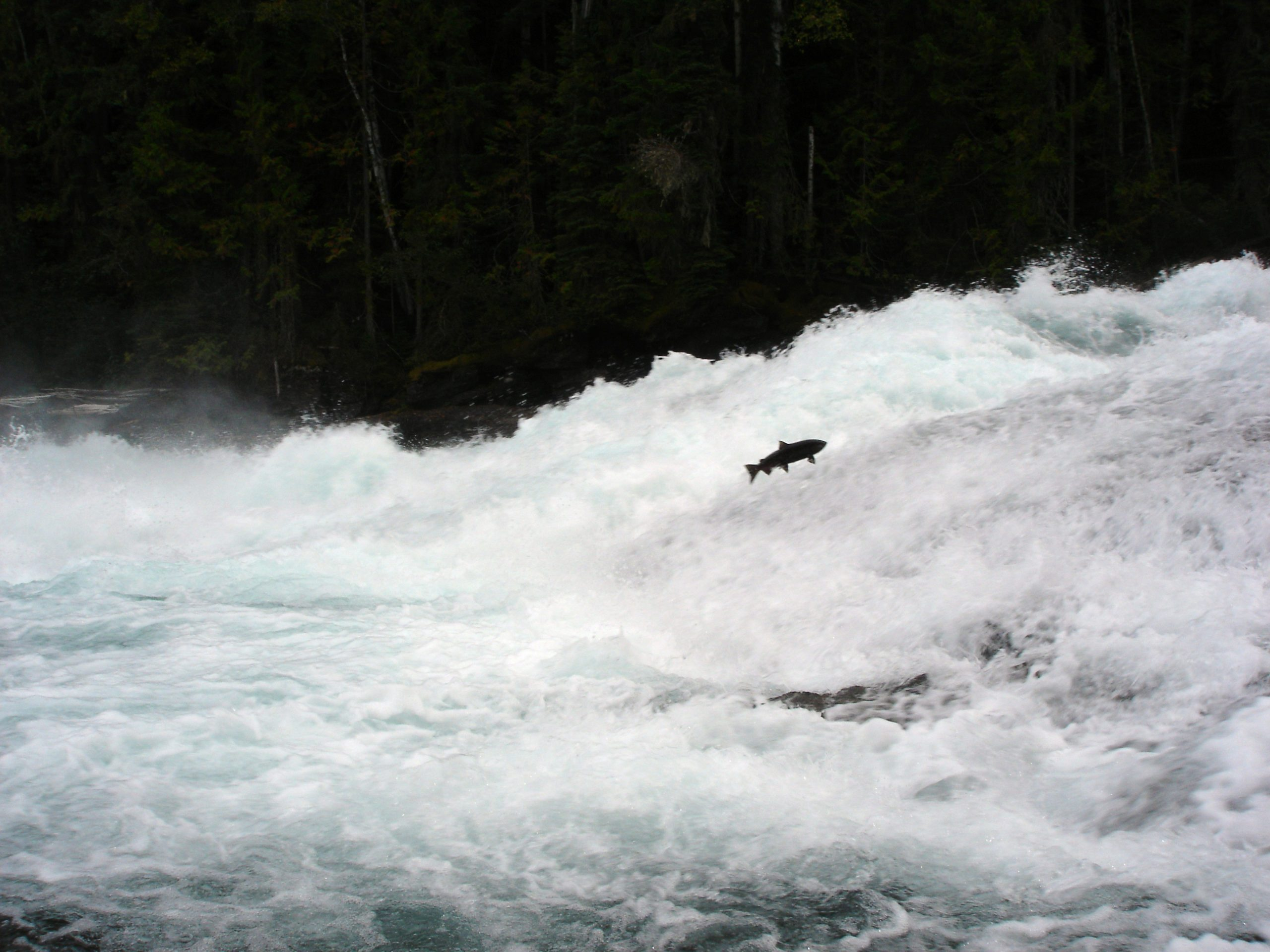 Cooks Ferry Indian Band Chief not a fan of rolling closures to save the Thompson River Steelhead