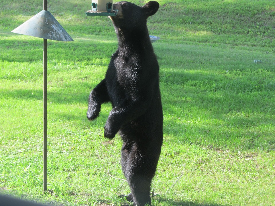 The hunt is on for two men who shot and killed a bear near Noble Lake