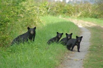 Fewer Black Bears Being Put Down in B.C.