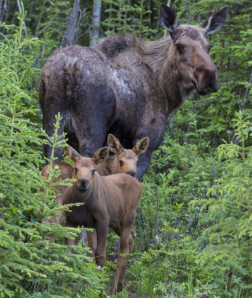 Stakeholders looking to support declining moose population in Cariboo-Chilcotin