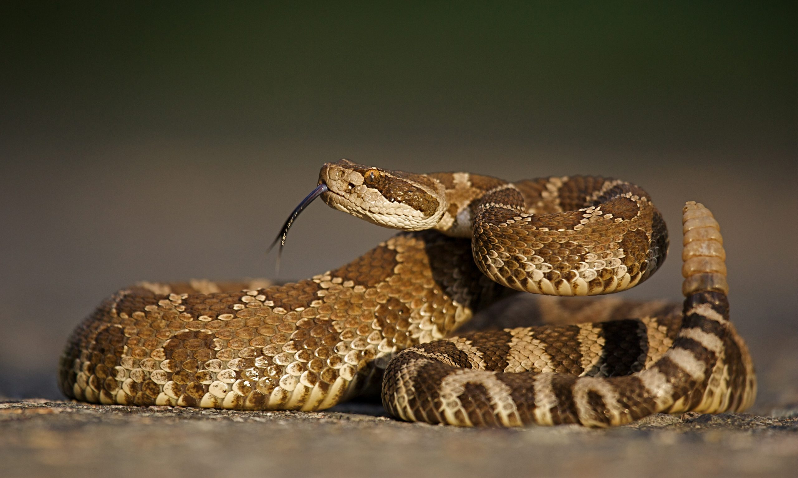 Rattlesnake numbers appear to be declining in the interior