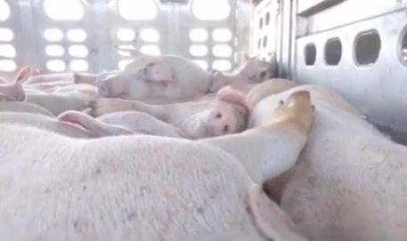 Video of pig transport truck passing through Kamloops prompts investigation