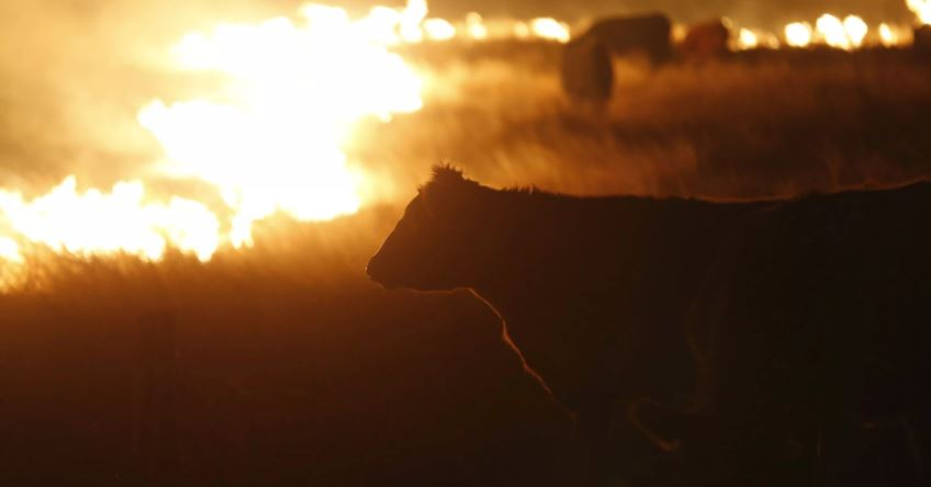 B.C's ranching industry has lost a number cattle during this fire season
