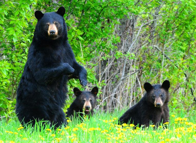 Fewer black bears put down in B.C this summer