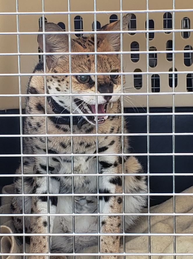 SPCA says province should consider banning exotic serval