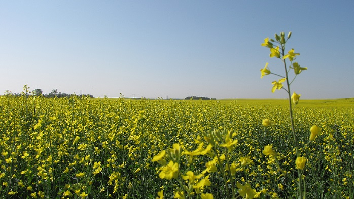 Saskatchewan Farmers Planting Less Canola, Lentils and Oats