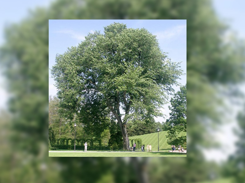 Annual Ban on Pruning Elm Trees Starts Sunday