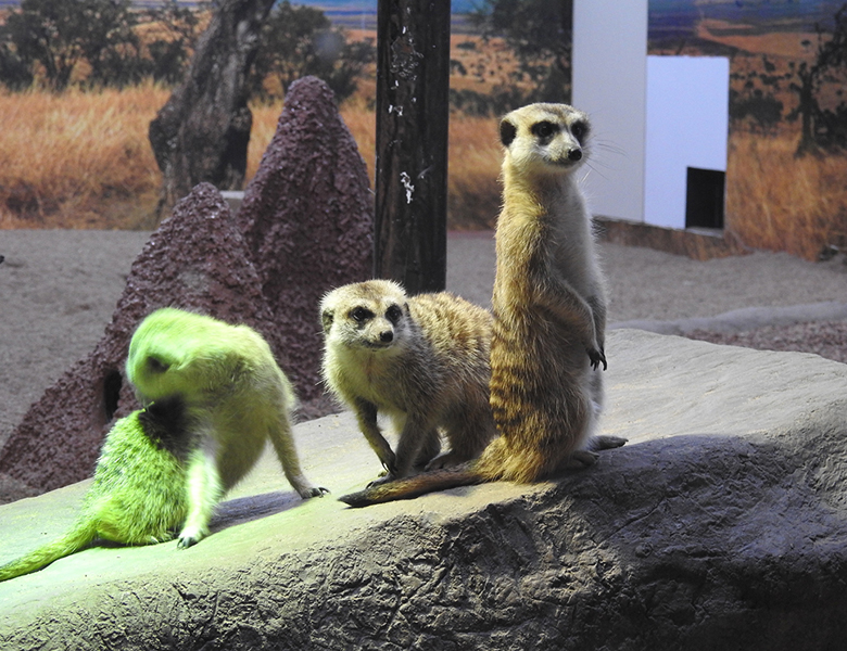 Meerkats Make a Home in Saskatoon
