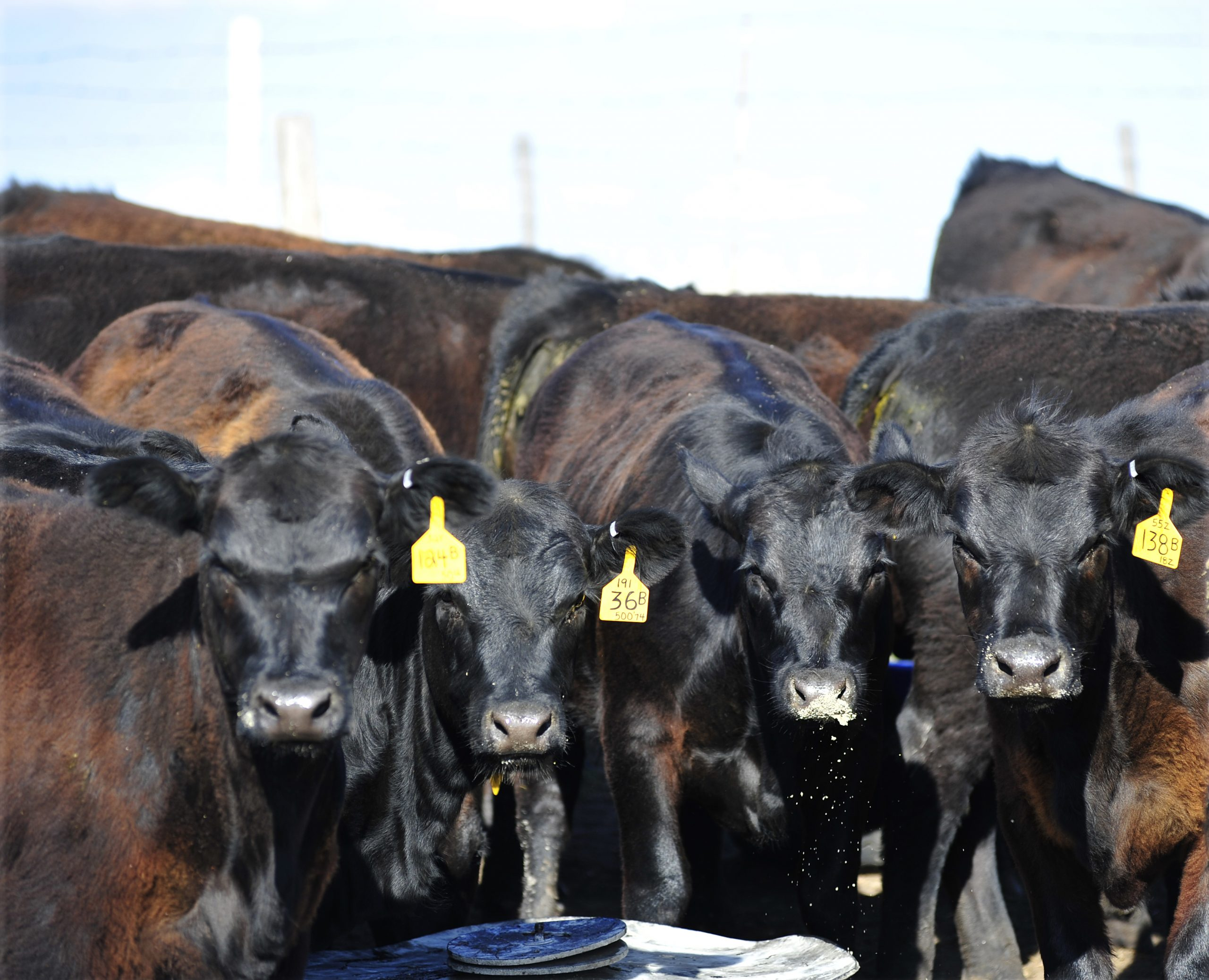 Cattle Market Update