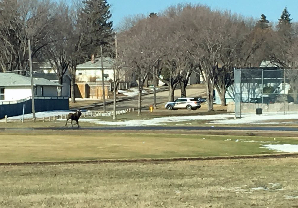 A Second Moose Reported In Saskatoon