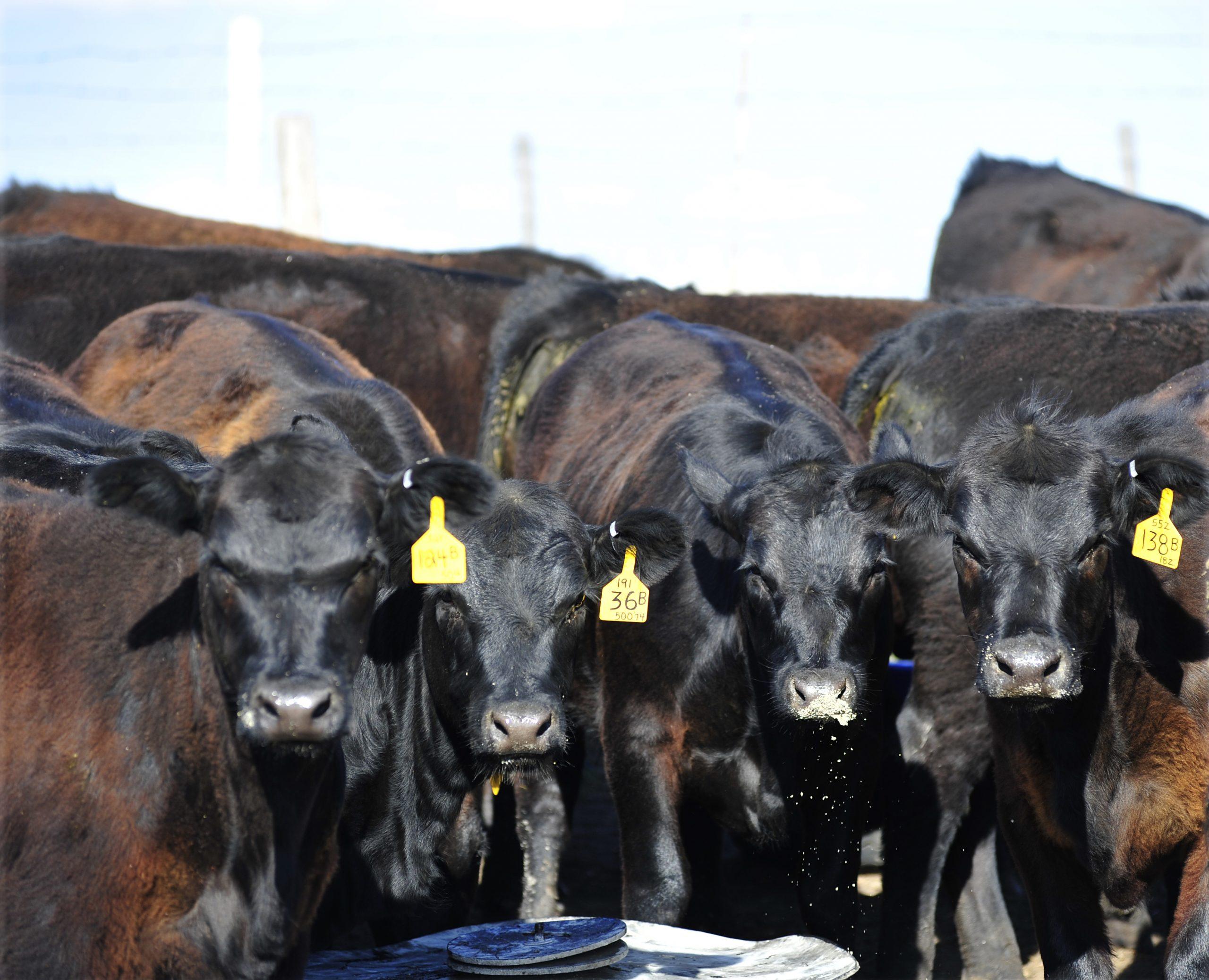 Cattle Market Update