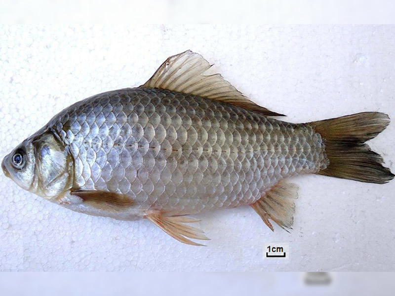 Hundreds of Prussian Carps Found Dead After Spring Thaw