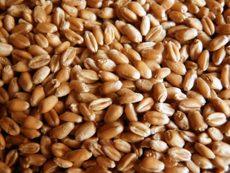 Unapproved GM Wheat Discovered in Alberta