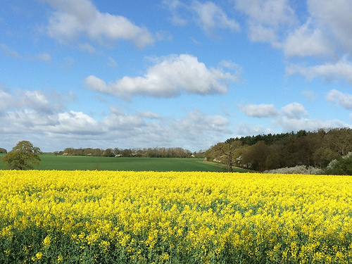 Strong Chinese Demand for Canola