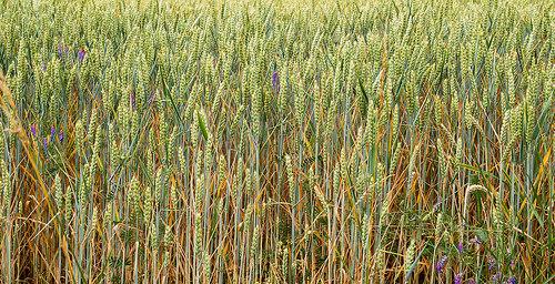 Saskatchewan Agriculture Crop Report