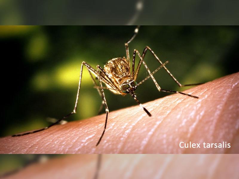West Nile Virus Detected in Mosquitoes Near Estevan