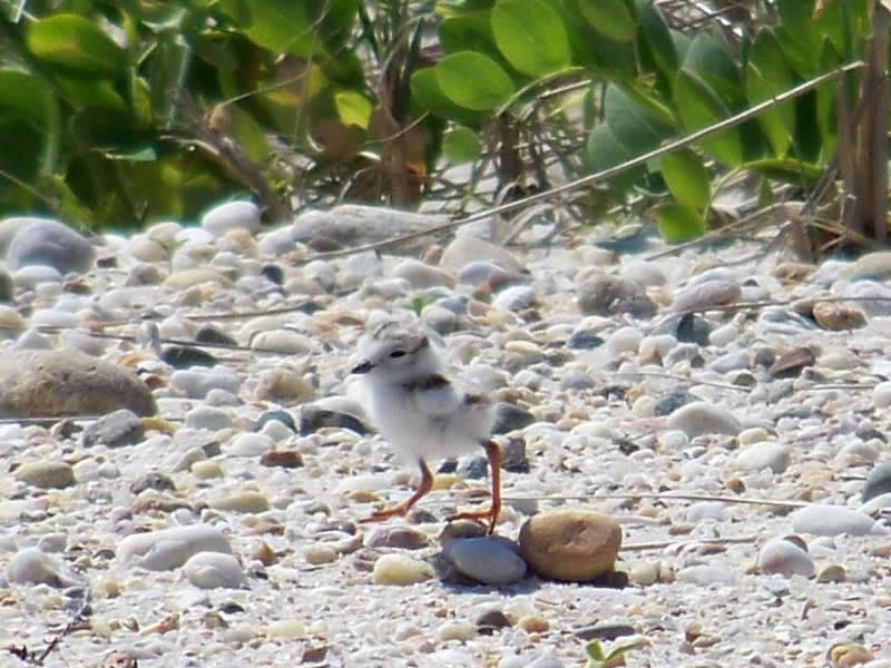 Step Carefully, There May be a Piping Plover