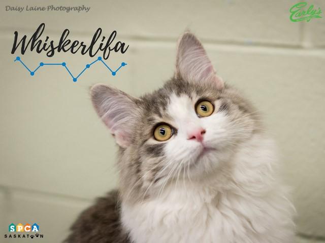Whiskerlifa