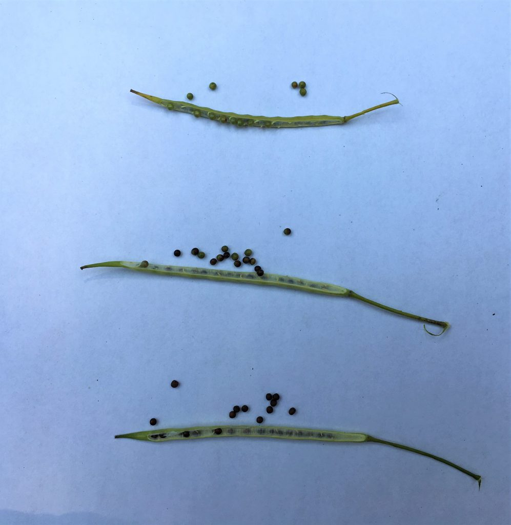 Frost Could Impact Late Developing Canola Crops
