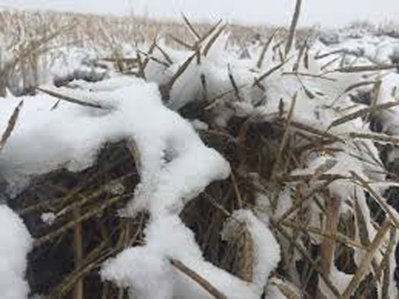 Snow Stops Harvest Again