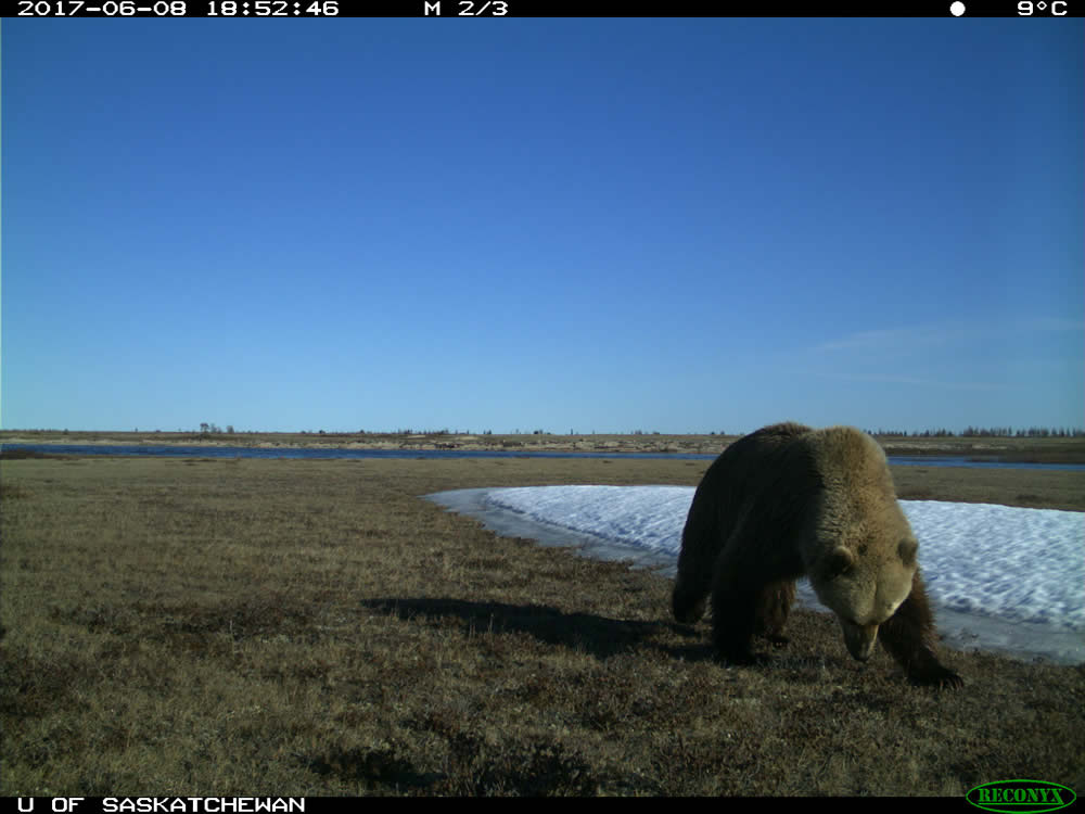 U of S Researchers Discover Grizzlies on the Move