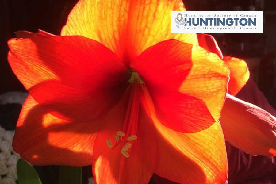 Inspiring Hope Through Amaryllis Bulbs