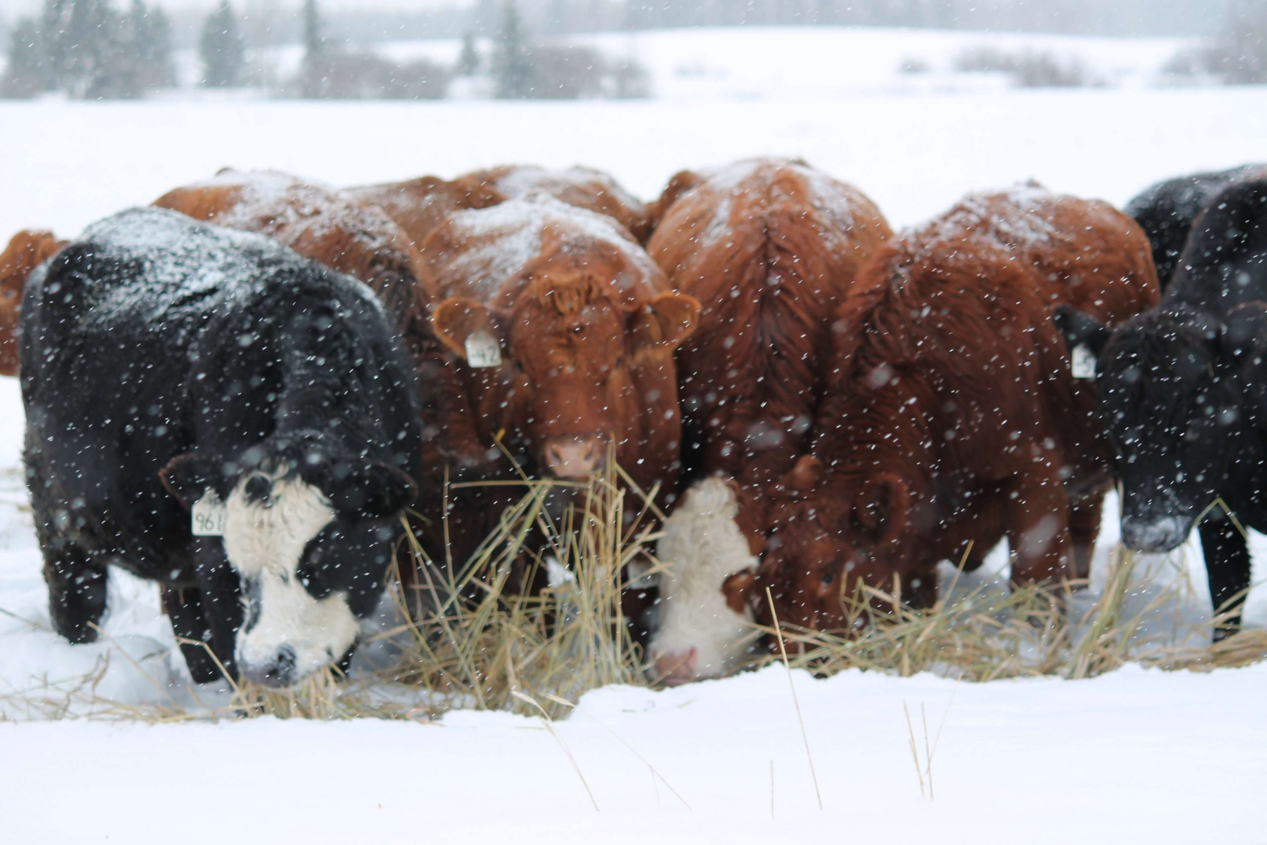 Study Recommends Later Swathing For Cattle Feed